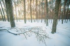 Forest landscape in winter dawn stock photo