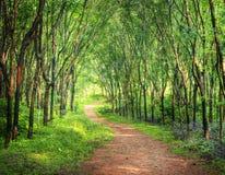 Forest Lane que encanta en una plantación del árbol de goma fotografía de archivo