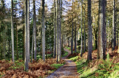 Forest of larch trees on a winter day. Stock Images