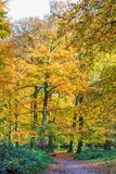 Forest with large beech trees, Fagus sylvatica, during autumn in beautiful warm autumn colours Stock Images