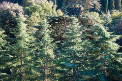 Forest of large fir trees, horizontal, front view Stock Images