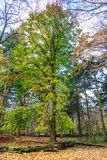 Forest with large lime tree, Tilia cordata, during autumn in beautiful warm autumn colours. Small leaved lime tree, Tilia cordata, full of tree leaves in autumn stock images