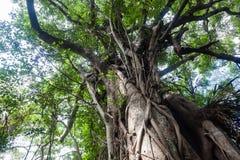 Forest Large Tree Roots tropical Foto de archivo libre de regalías