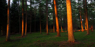 Forest with last rays of sun Royalty Free Stock Photography