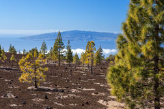 Forest on a lava field. Scenic view of a forest on a lava field, Mount Teide, Tenerife, Canary Islands, Spain Royalty Free Stock Photos