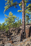 Forest on lava on Tenerife. A forest growing on an lava field in Tenerife, Canary islands Royalty Free Stock Image