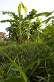 Forest Lawn-banaanaanplantingen Stock Fotografie