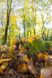 Forest with leaf trees and mushrooms Stock Photography
