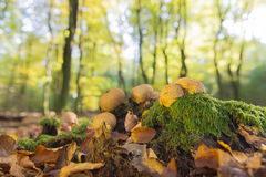 Forest with leaf trees and mushrooms Royalty Free Stock Photo