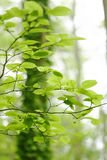 Forest leafs close up. Beautiful green leafs in a forest royalty free stock photos