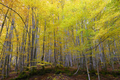 Forest and leaves in autumnal colors. Stock Photography