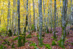 Forest and leaves in autumnal colors. Stock Photo
