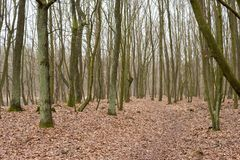 Forest with leaves on the ground. Path through a forest with leaves on the ground during autumn season stock image