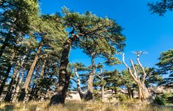 The Cedars of God at Bsharri in Lebanon. Forest of Lebanon cedars at Bsharri - Kadisha valley in Lebanon royalty free stock photo