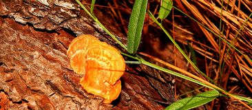 Forest Legume arancio Fotografia Stock