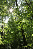 Forest Light Royalty Free Stock Image