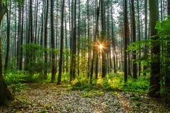 Forest Light Imágenes de archivo libres de regalías