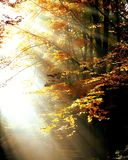 Forest, Light, Autumn, Trees Stock Images