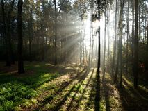 Forest light 2. The rising sun on the background of the young forest Royalty Free Stock Image