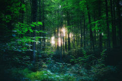 Forest. Light shining through the trees in the woods, somewhere maybe in a fairy tale stock photography