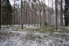 Forest after light snowfall Stock Image