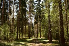 The forest is like a mysterious world, shimmering from the penetration of sunlight through the branches of trees. Coniferous forest. Sunny day stock image