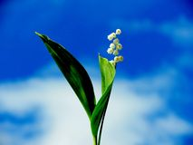 Forest lily of the valley. The forest lily of the valley blossomed in May on a solar glade Stock Photo