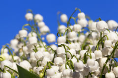 Forest lily of the valley close-up Stock Photo