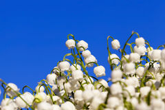 Forest lily of the valley close-up Royalty Free Stock Photography