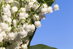 Forest lily of the valley close-up Royalty Free Stock Image
