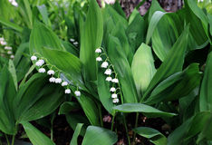 Forest lily of the valley flowers Royalty Free Stock Image