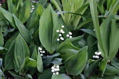 Forest lily of the valley flowers Stock Photography