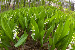 Forest lily of the valley near Kiev Stock Photos