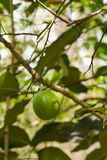 Forest lime in the nature Royalty Free Stock Photography