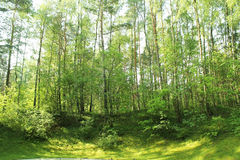 A forest in Lithuania. Green sunny A forest in Lithuania Royalty Free Stock Images