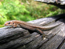 Forest Lizard. Macro forest lizard in the old dry log Royalty Free Stock Photography