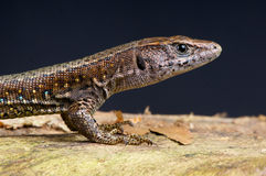 Forest Lizard Stock Photos