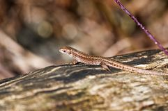Forest Lizard - Zootoca-vivipara Stock Photos