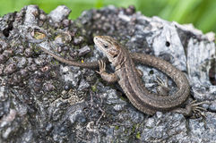 Forest Lizard - Zootoca-vivipara Royalty Free Stock Image