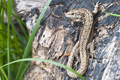 Forest Lizard - Zootoca-vivipara Stock Photography
