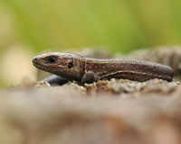 Forest lizard Zootoca vivipara 1 Stock Photography