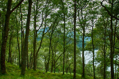 Forest by Loch Lomond. Summer forest by Loch Lomond in Scotland royalty free stock photography