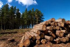 Forest Logging. Pine logs stacked in Tokai forest near Cape Town Stock Photos