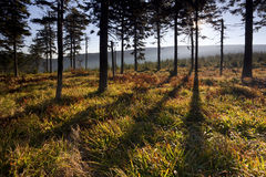 Forest with long shadows at sunrise. Autumn forest with long shadows between trees at sunrise royalty free stock photography