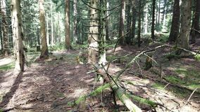 Forest. Lots of spruce cones on the forest ground stock video