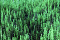 Forest of Lush Green Pine Trees Royalty Free Stock Photography
