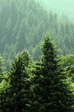 Forest of Lush Green Pine Trees Royalty Free Stock Photos