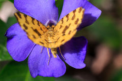 Forest macro photo of butterfly sitting on a flower. Butterfly closeup on a purple flower. Macro photo. Forest macro photo of butterfly sitting on a flower royalty free stock photography