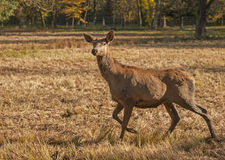 Forest mammals Royalty Free Stock Photography
