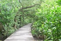 Forest mangrove. Mangrove boardwalks for nature study Stock Photos